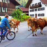Bavaria, Upper Bavaria, village, Oberammergau, cow, meadow, stable, day excursion,